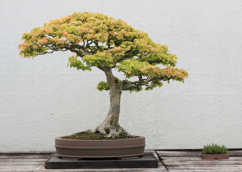 Maple bonsai omsorg bonsai arter hagearbeid ideer