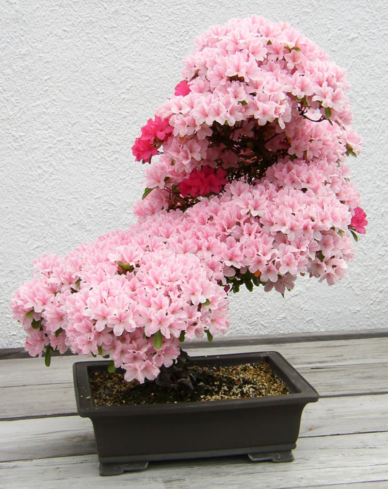 Azalea bonsai tree kjøpe bonsai arter