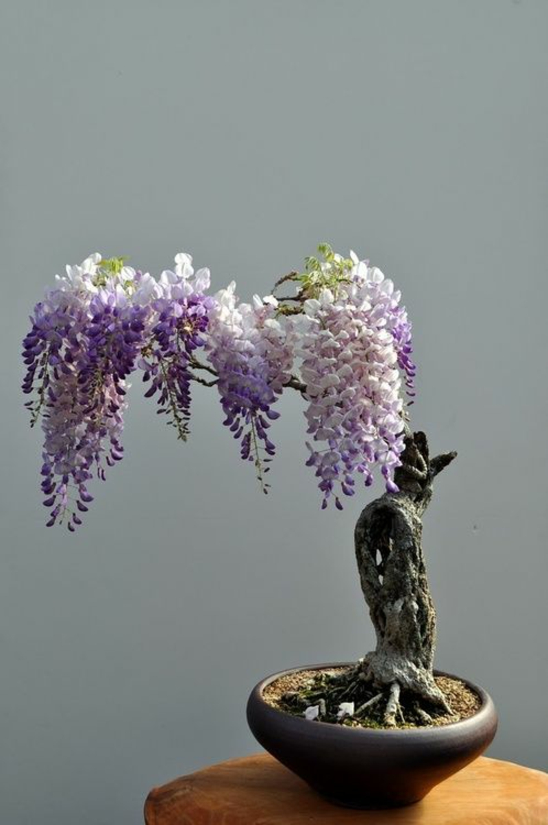 Bonsai Tree Nakup Bonsai Cut in gojenje Wisteria Bonsai