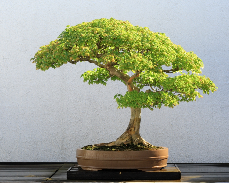 Bonsai skrbi bonsai vrste bonsai dreves repotting