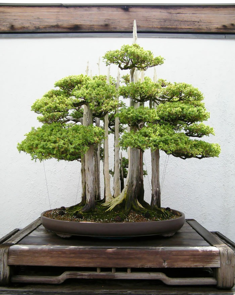 Bonsai kupuje in vzdržuje bonsajske vrste mini gozd