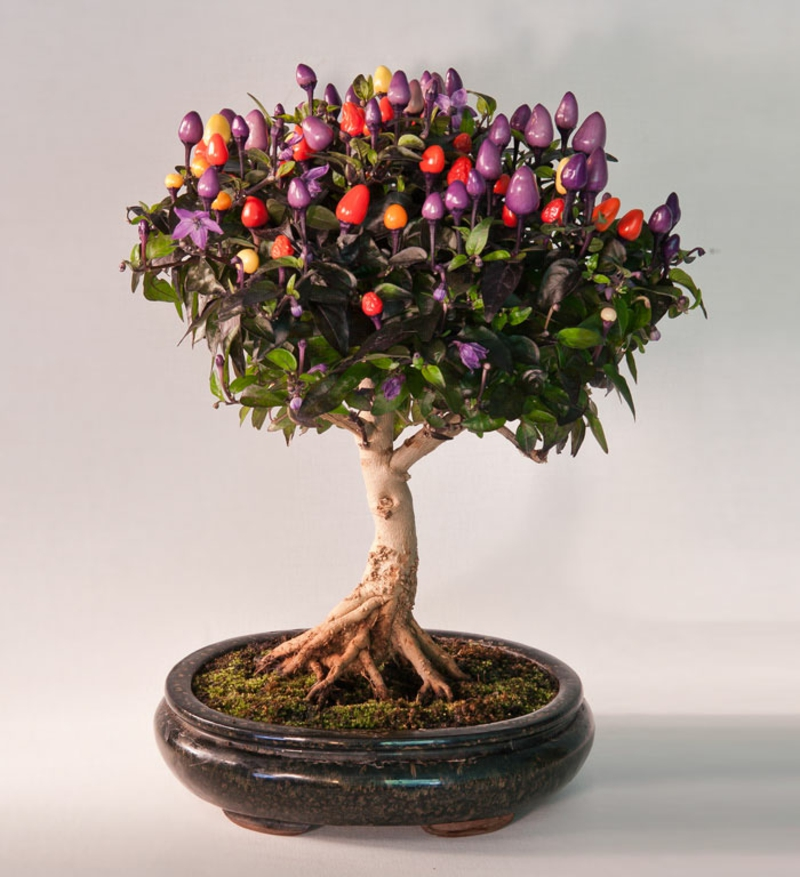 Chili bonsai drevo kupi bonsai vrste