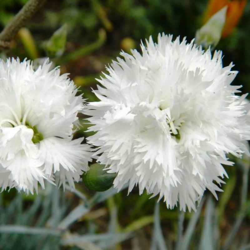 Feather carnations Dianthus plumarius beautiful spring flowers pictures