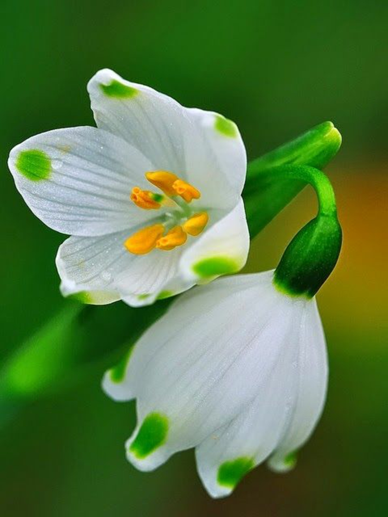 Spring knot flower Leucojum vernum beautiful spring flowers pictures