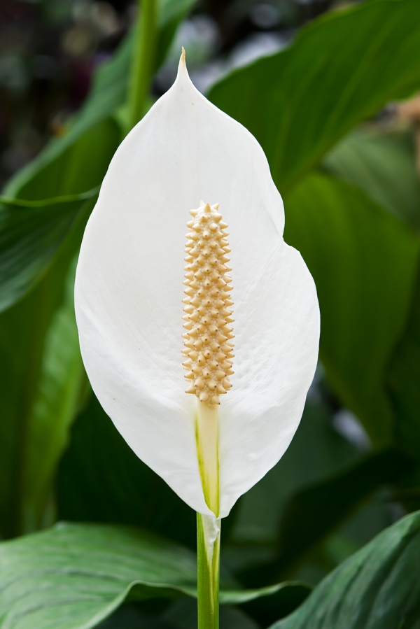 Peace lily popular indoor plants potted flowers
