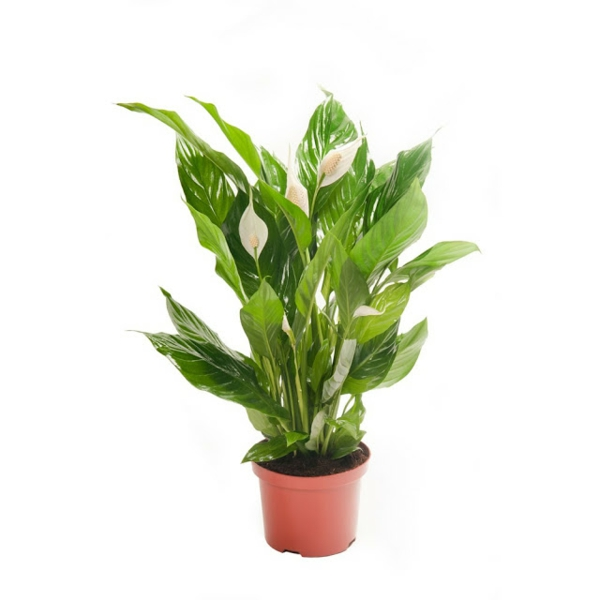 Peace lily popular indoor plants potted beautiful plants