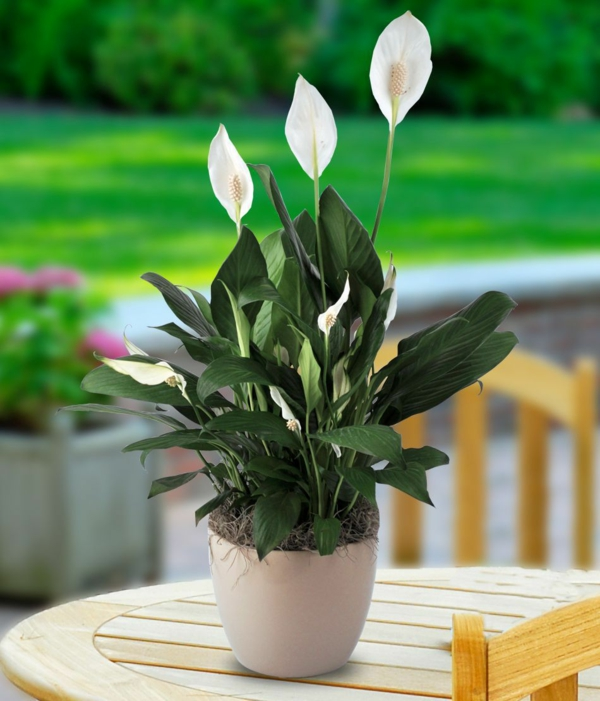 Peace lily popular flower pot potted plants