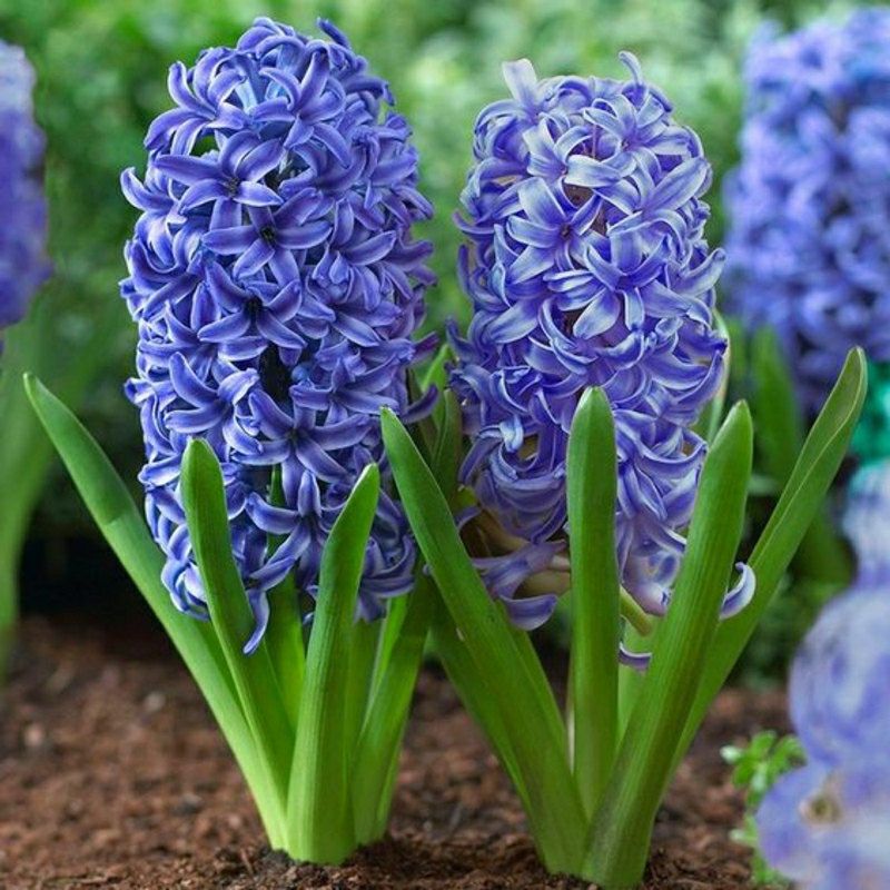 Hyacinthu orientalis beautiful spring flowers pictures