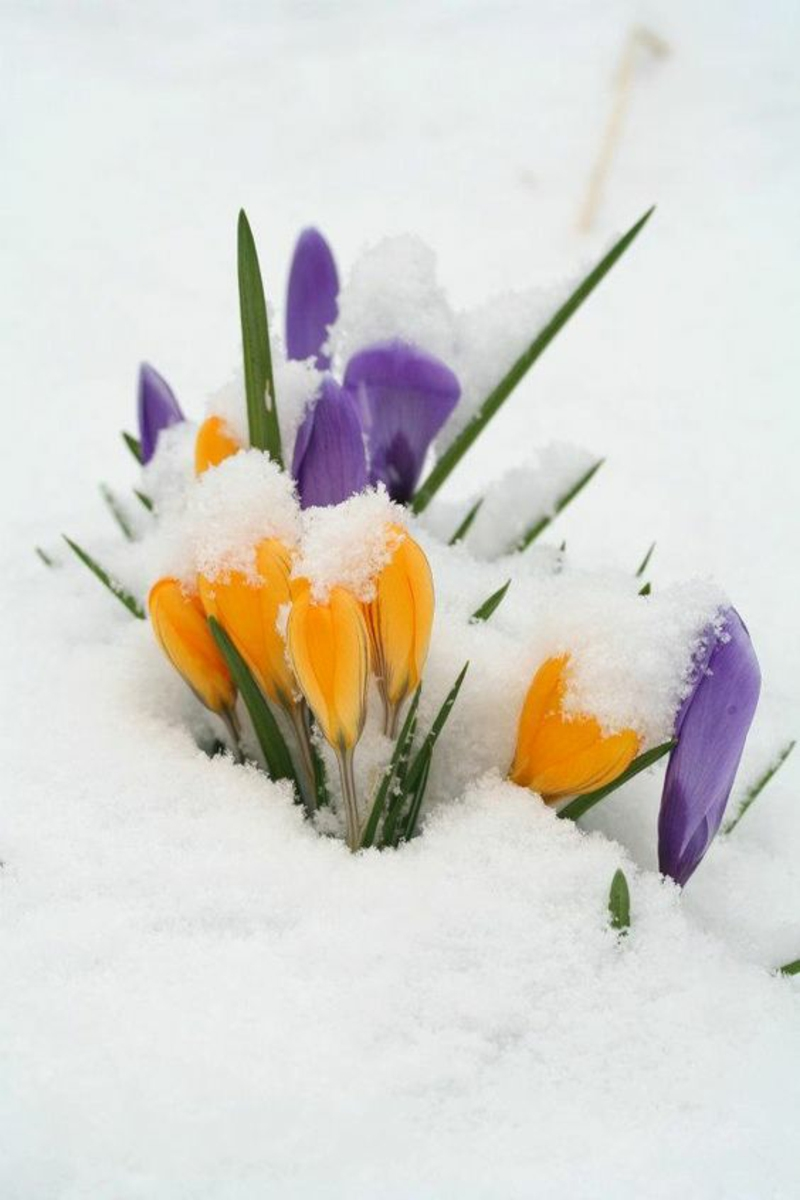 Crocus in the snow Crocus beautiful spring flowers pictures