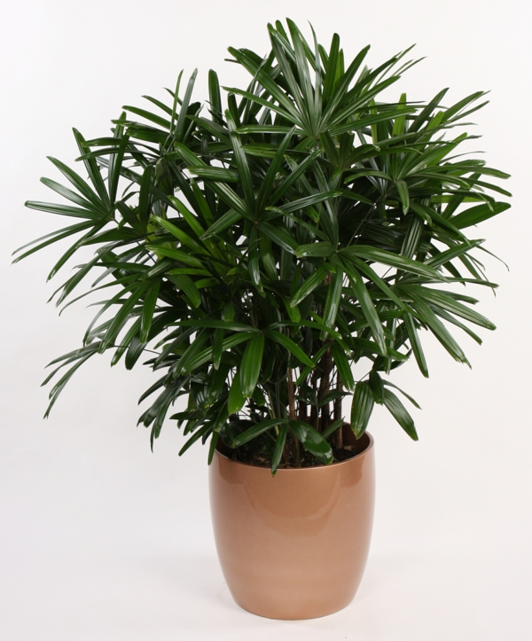 Indoor Plants Date Palm Palmtree Hardy Lush