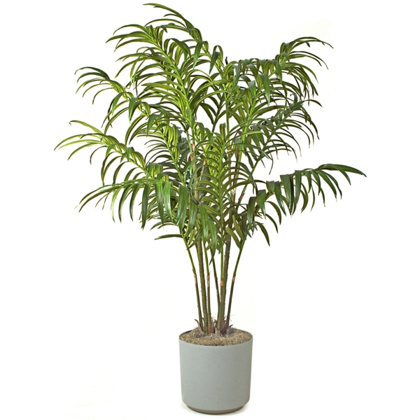 Palm species as houseplants hardy otherwise
