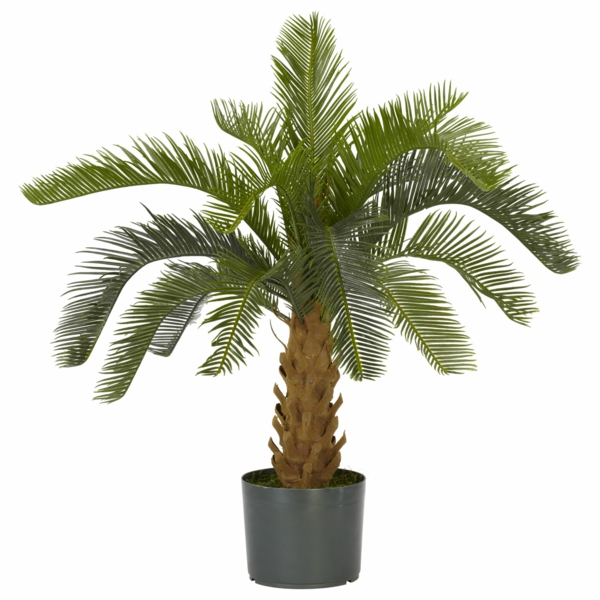 Palm species as indoor plants evergreen exotic