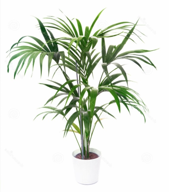 Indoor plants date palm tree Palm trees hardy idea