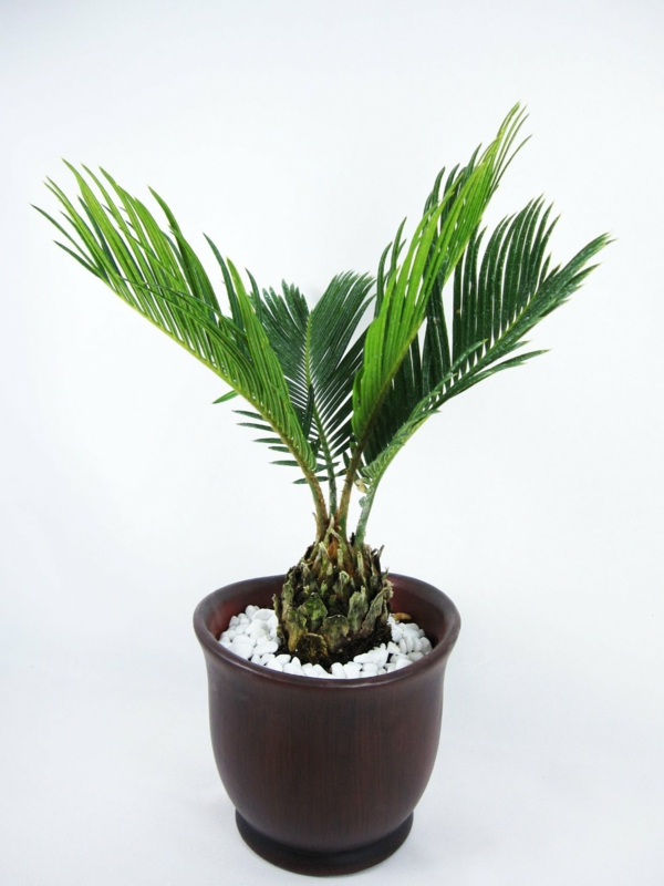 Indoor Plants Date Palm Palm species Hardy gravel
