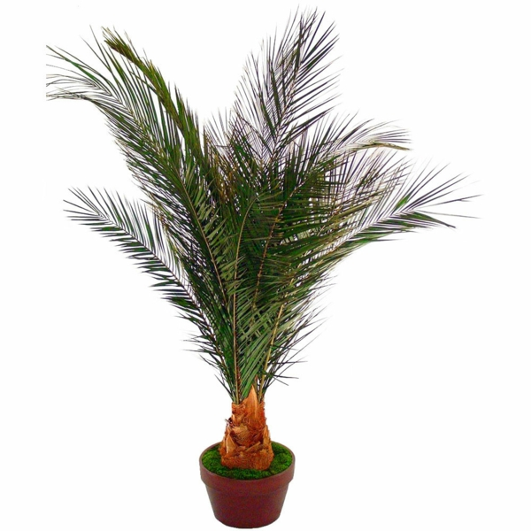 Palm species as houseplants date-palm hardy small