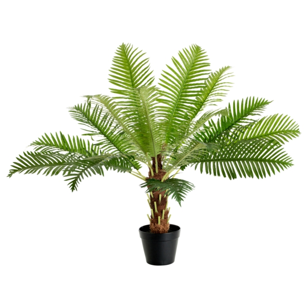 date palm tree hardy palm tree species as indoor plants