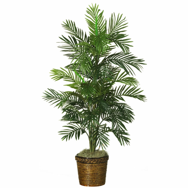 Palm species as houseplants date-palm hardy tropical