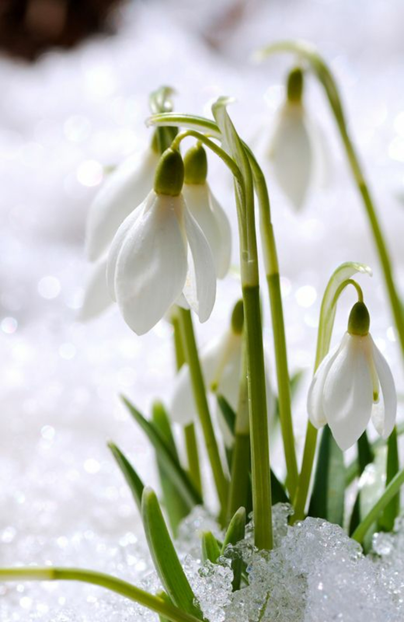 Snowdrop Galanthus nivalis march snow spring flowers