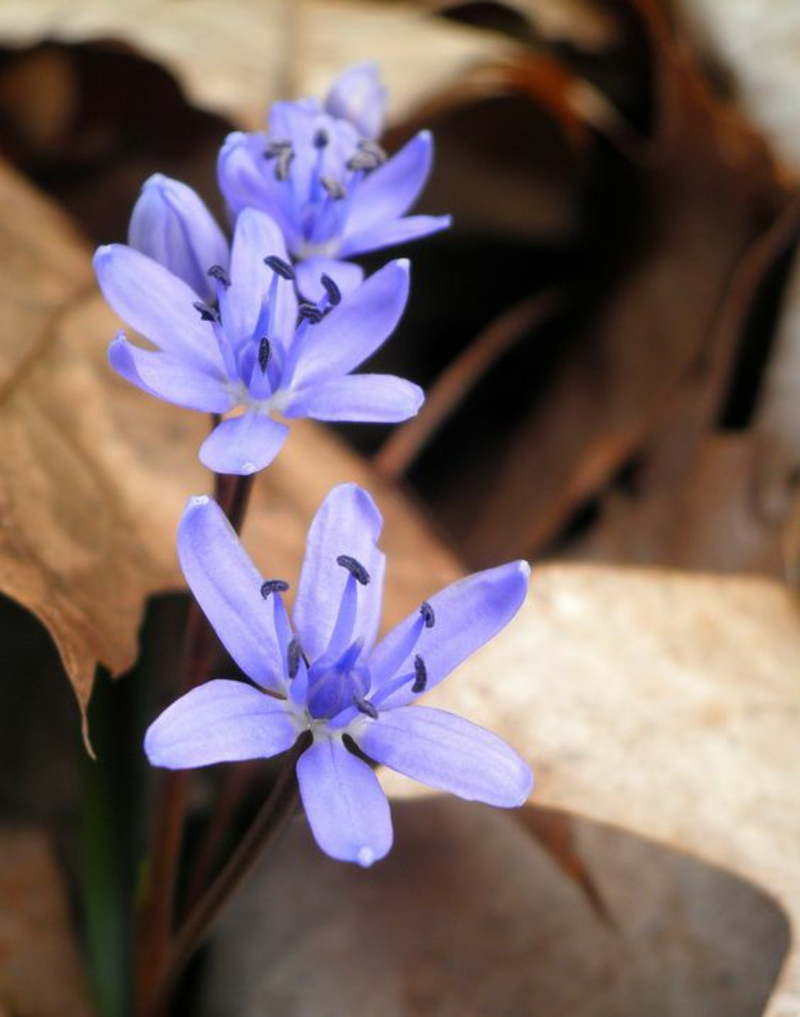 Scilla bifolia blue star beautiful spring flowers pictures