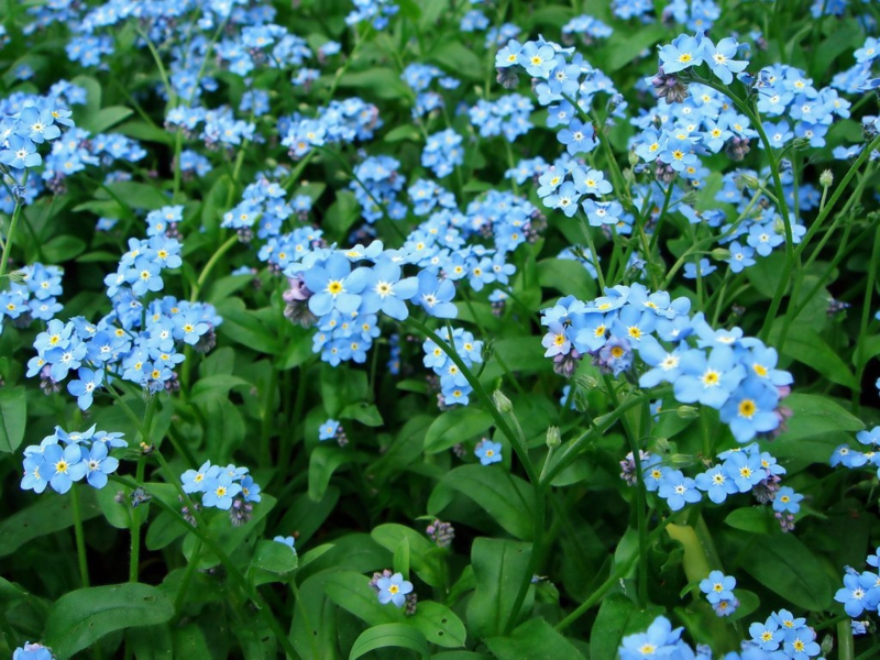 Forget-me-not Myosotis beautiful spring flowers pictures