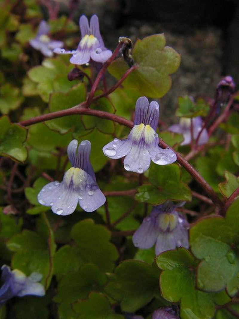 Cymbal cymbalaria muralis beautiful spring flowers pictures