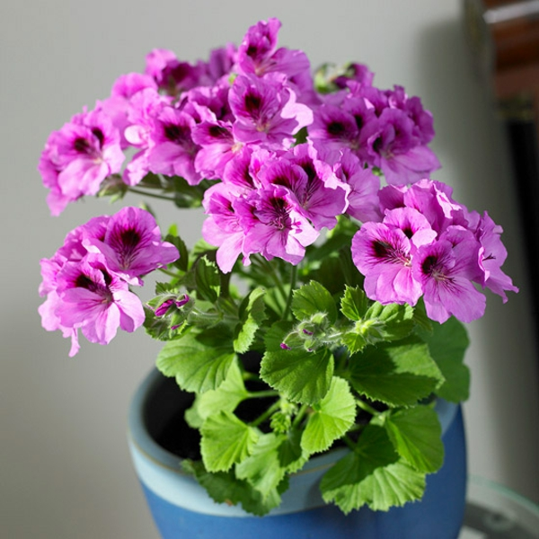 פריחה עציצים pelargonium potted צמח