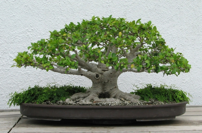 bonsai trees small tree plant container