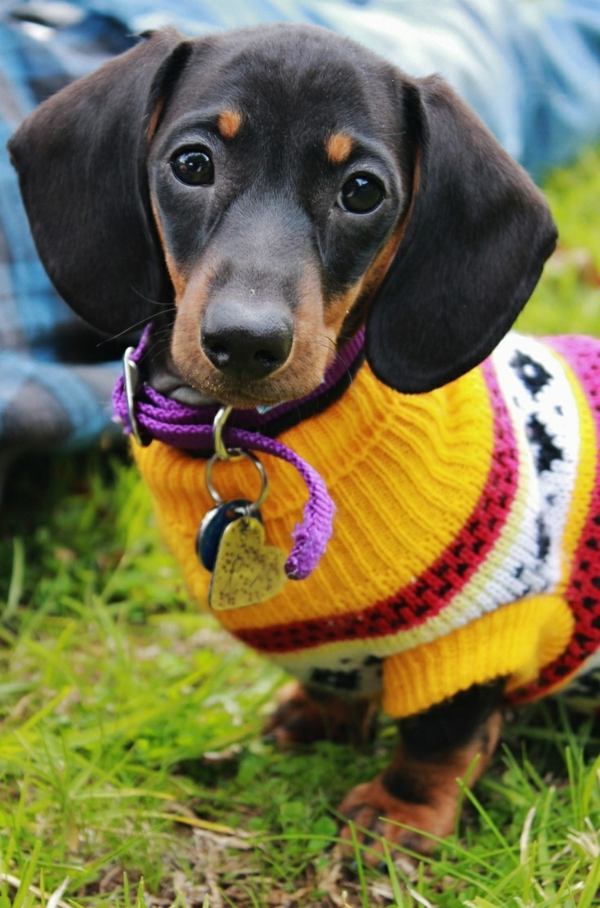 DIY-prosjekter Hundegenser Knitting Yourself Yellow Dachshund Donning