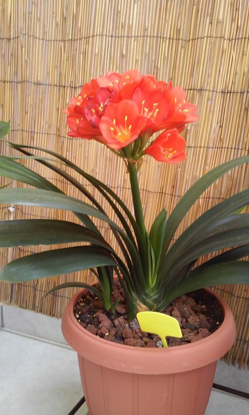 toxic houseplants Clivia miniata pulley