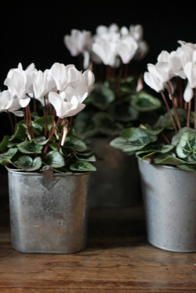 poisonous houseplants Cyclamen cyclamen