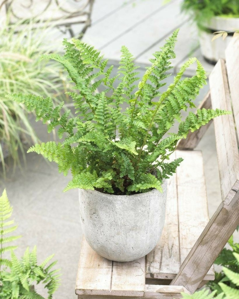 toxic houseplants Dryopteris worm ferns