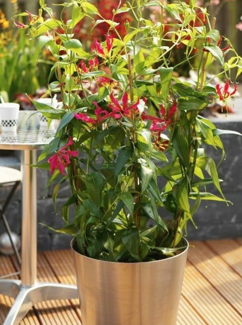 poisonous houseplants Gloriosa superba lily