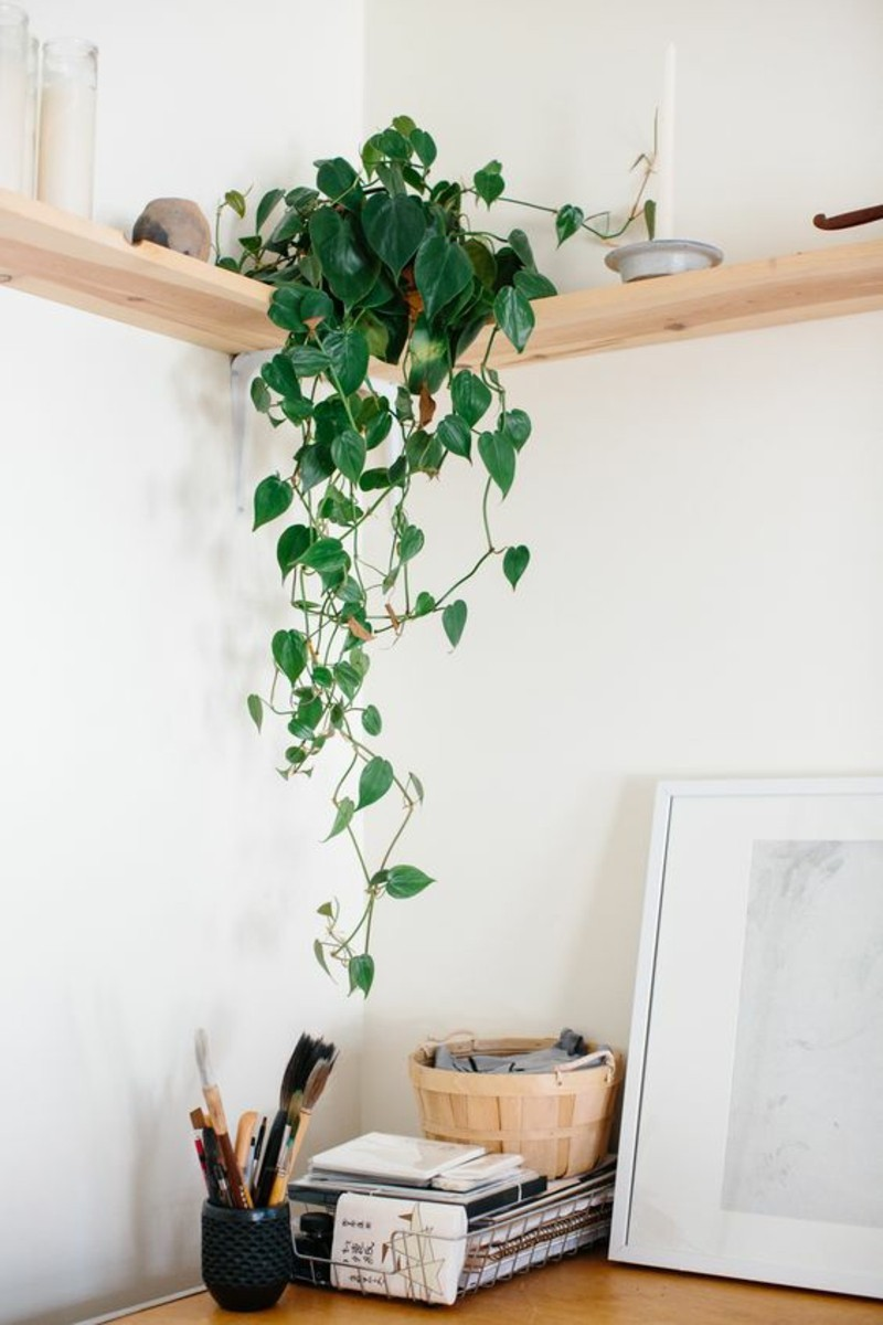 poisonous houseplants climbing plant Philodendron