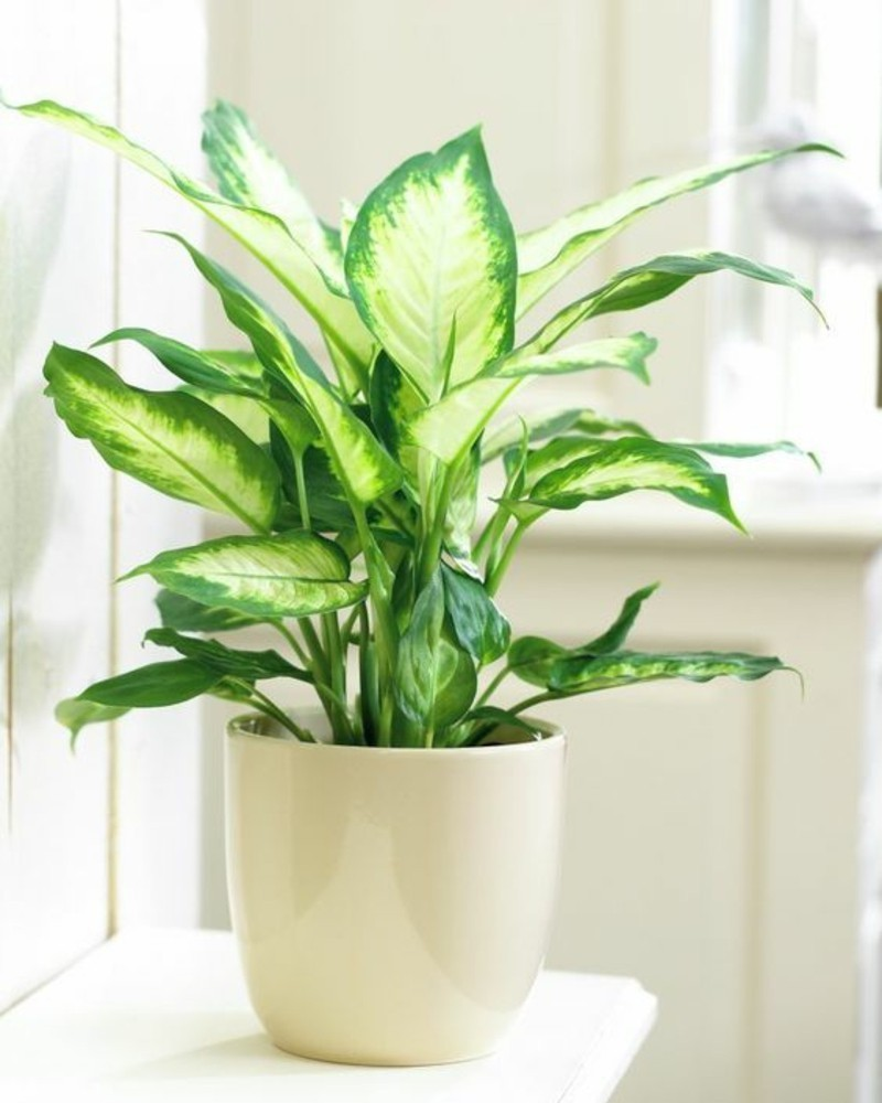 toxic houseplants List Dieffenbachien