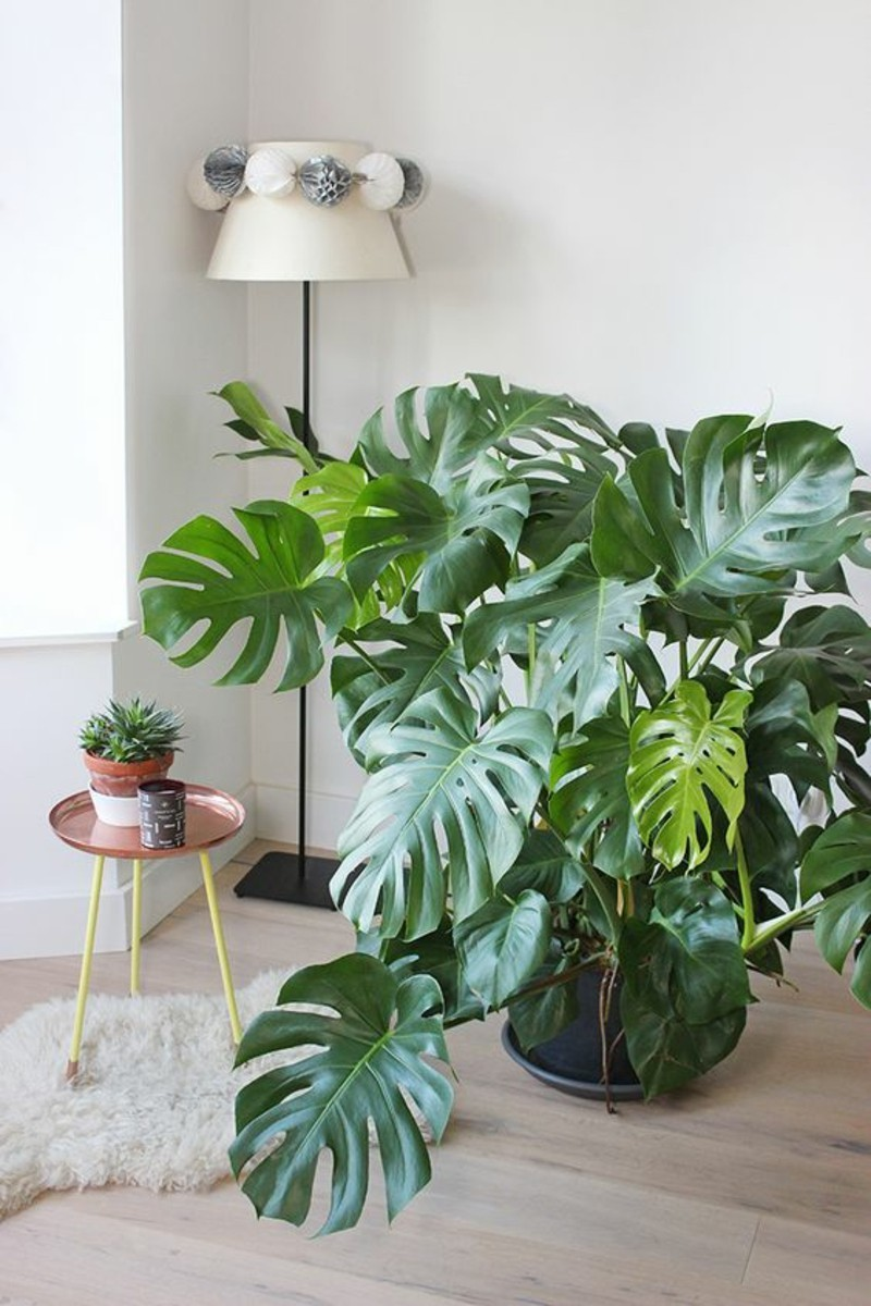 poisonous houseplants monstera window leaf