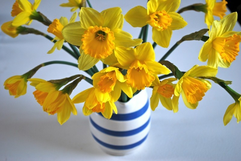 poisonous houseplants daffodils cut flowers