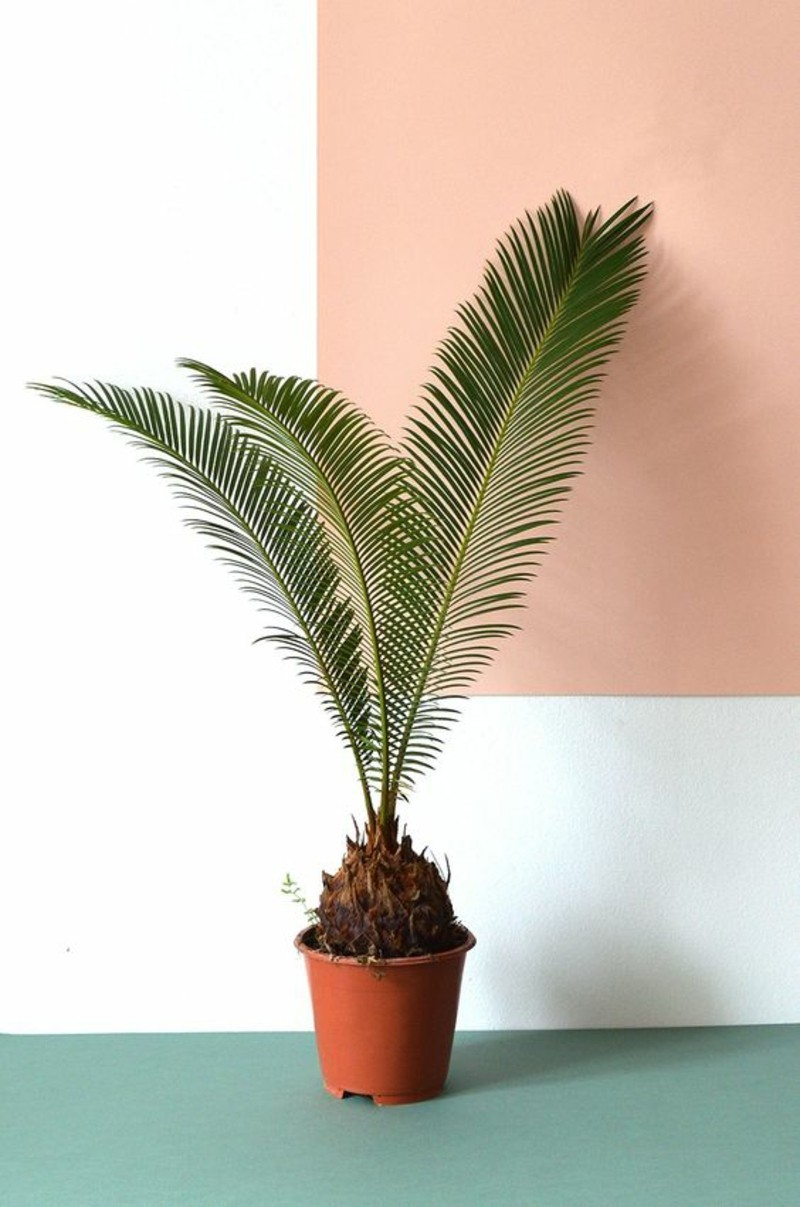 poisonous houseplants Palm species Sago palm