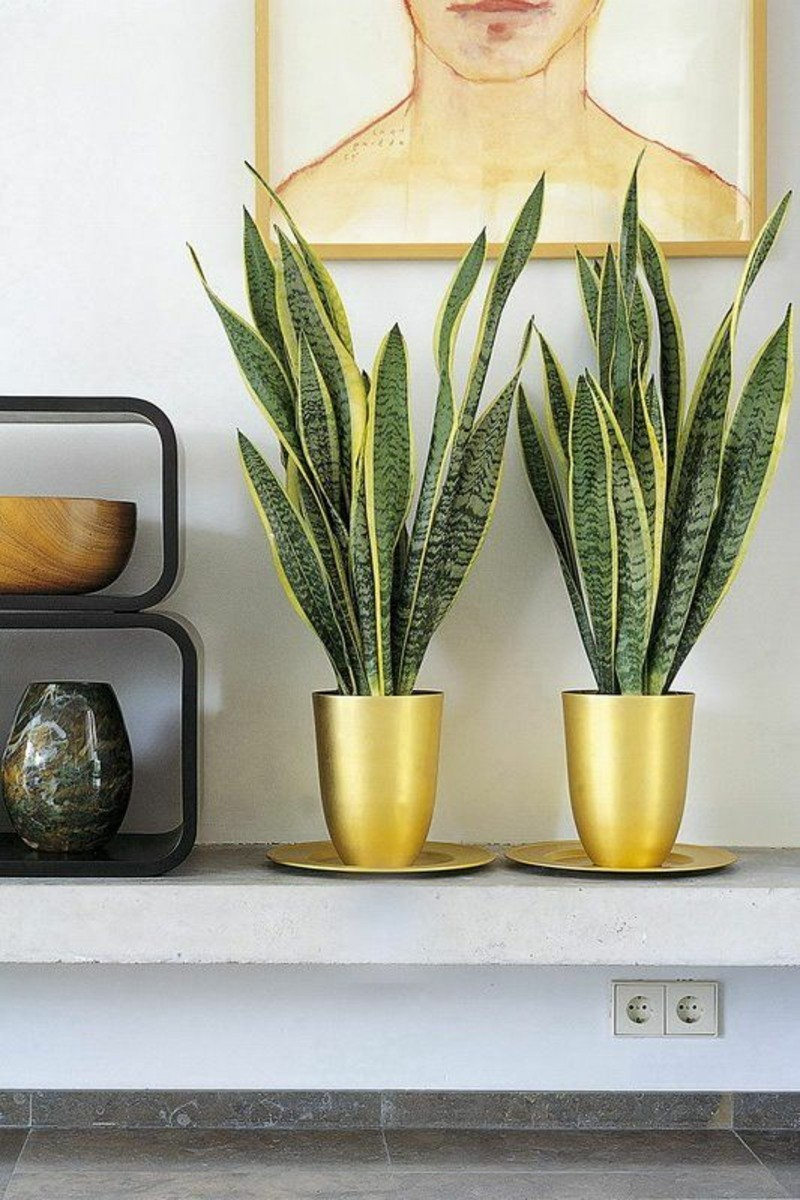 poisonous houseplants Sansevieria trifasciata bow hemp