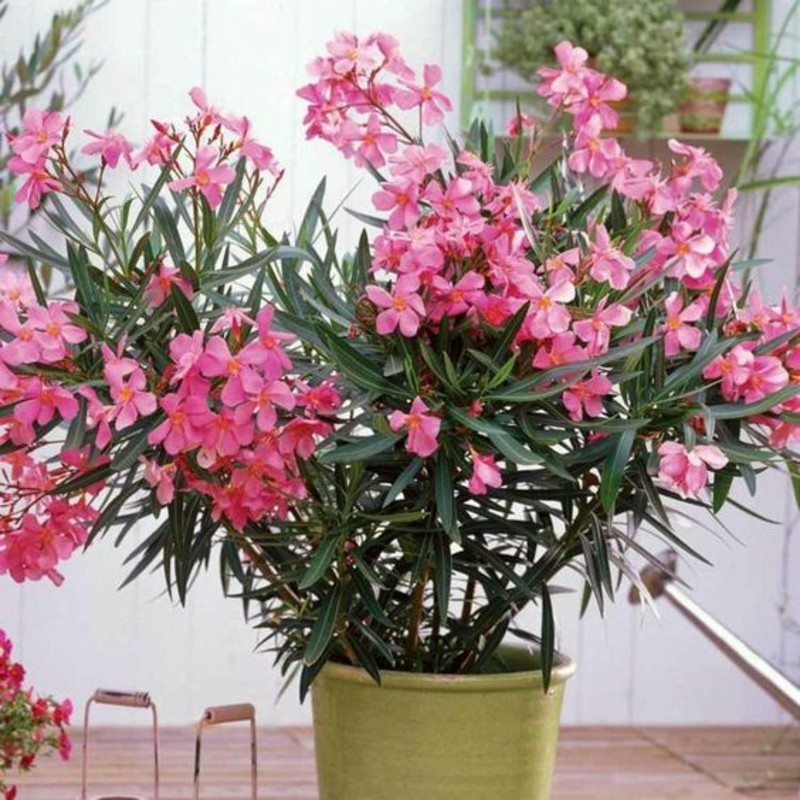poisonous houseplants potted plants oleander