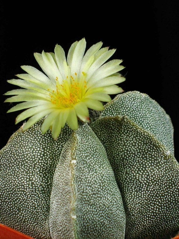 cactus species Astrophytum flowerpot flowering
