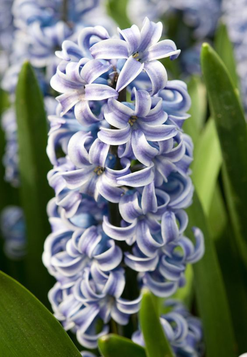 Hyacinthus orientalis deco ideas with spring flowers pictures