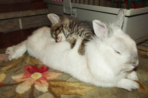 cute animal pictures fancy pets baby cat and rabbit