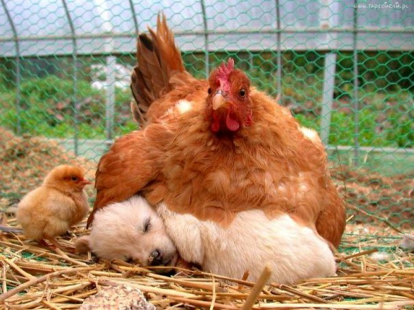 cute animal pictures fancy pets dog and chicken