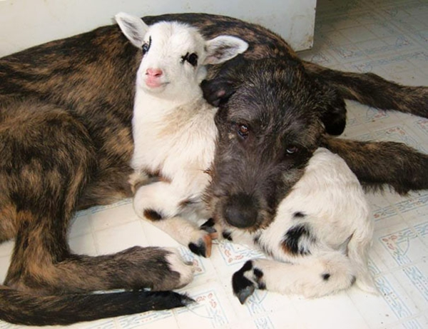 cute animal pictures fancy pets dog and goat