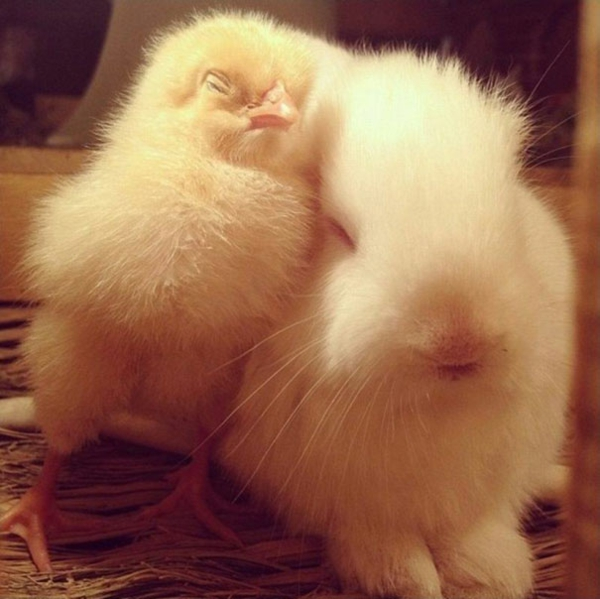 cute animal pictures fancy pets chicks and rabbits