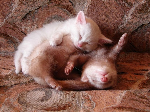 cute animals pictures fancy pets cat and ferret as a pet