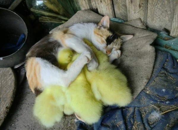 cute animals pictures fancy pets cat and chicks