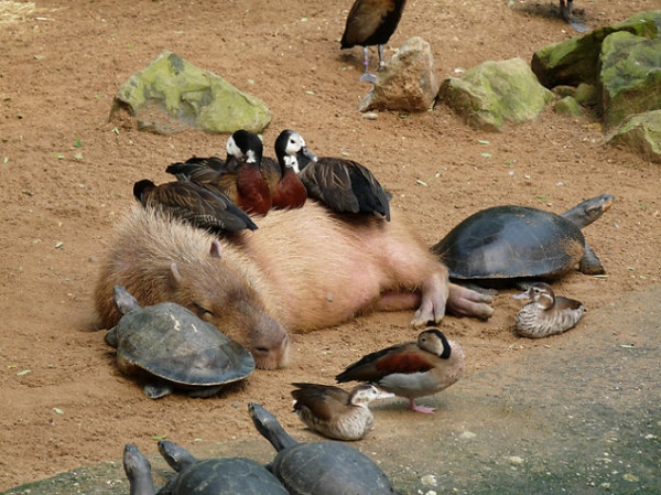 cute animals pictures fancy pets pig turtles ducks as pets