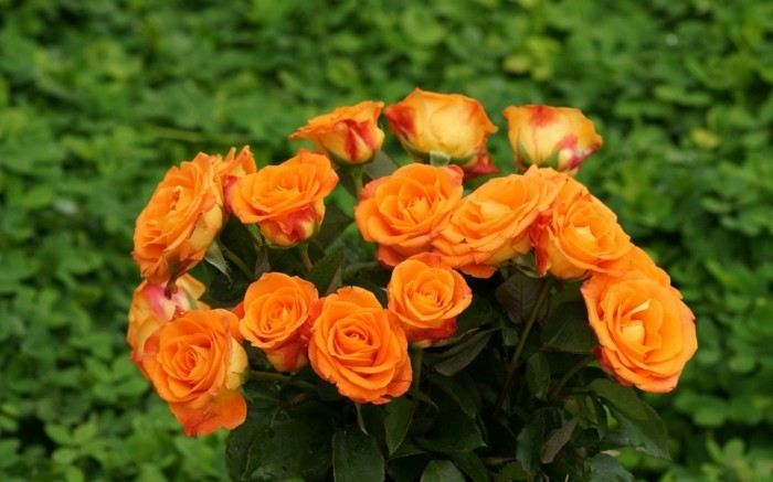 orange roses rose color meaning