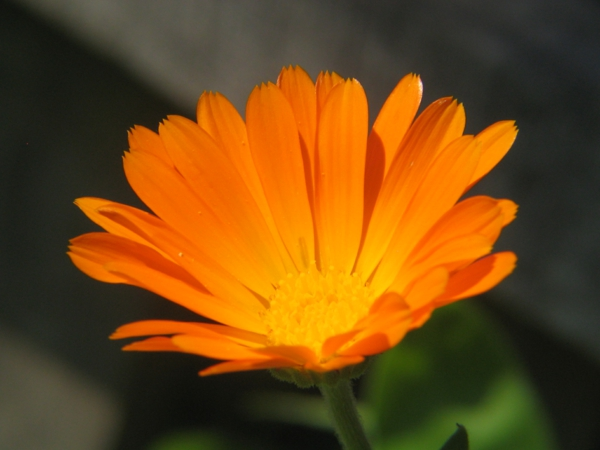 Marigold orange plant flowers significado
